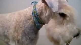 http://www.doggies.tv ドギーズでは初犬種となるレイクランドテリアの...