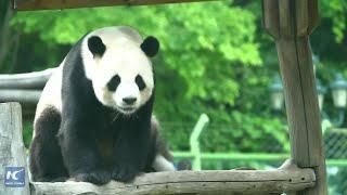 Rocking Pandas