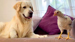 Funny Golden Retriever Reaction to Chicken