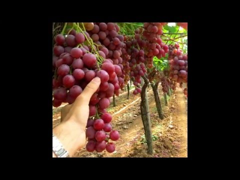 Spontella's Farm table grapes