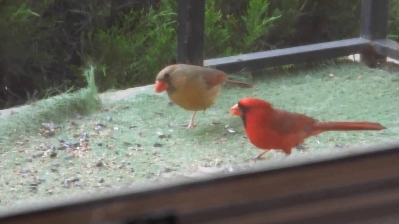 Red cardinal bird male feeding female youtube red cardinal bird male feeding female buycottarizona