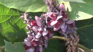 8月から9月にかけて咲く葛の花です。天ぷらなどにして食べます。 クズ...