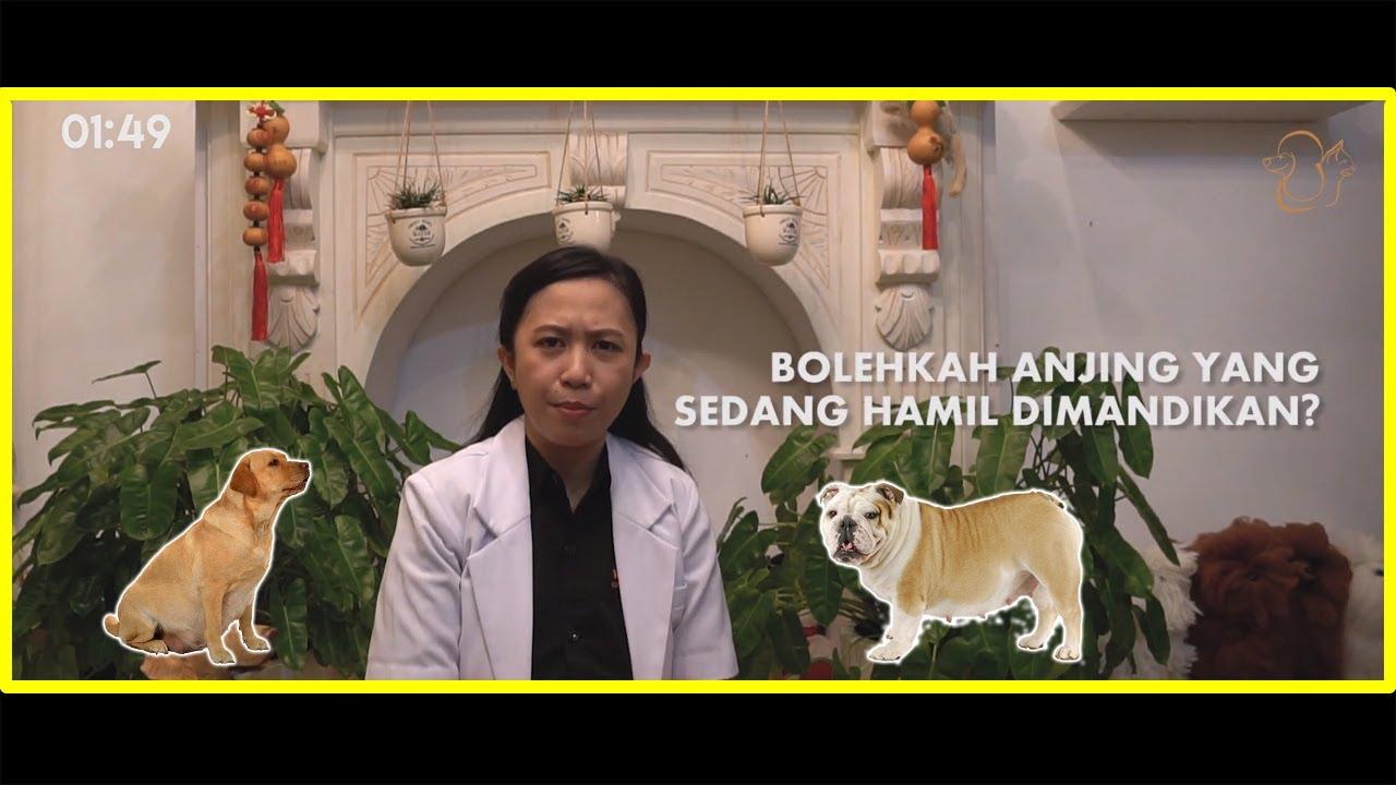 Cara Merawat Anjing Hamil Berkembang Biak 2020