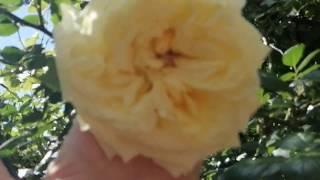 плетистые розы в саду: римоза, дон жуан, скарлет, барок