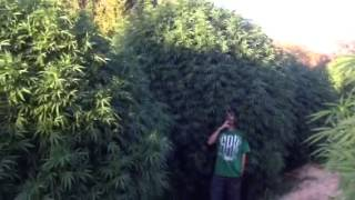 World Record Pot Plants!!!!!!!!! Bam!!!!