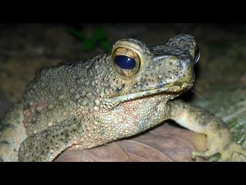 Bufo Asper Frog Malayan Giant Toad Youtube