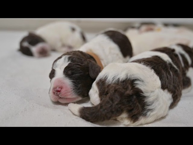 5 day old Lagotto Romagnolo puppies