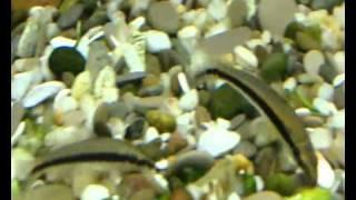 Аквариум - Аквариумные рыбки - Сиамский водорослеед(Это стройная серовато-коричневая рыба с выраженной черной горизонтальной полосой. При оптимальных условия..., 2010-12-25T20:02:03.000Z)