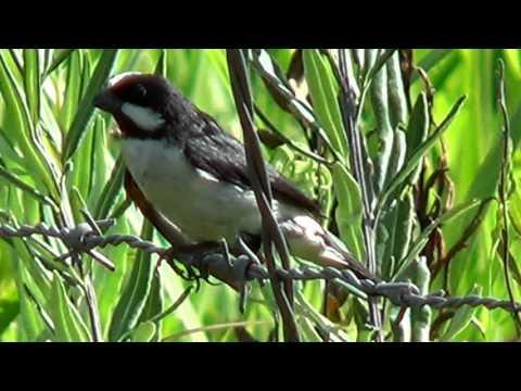 Sound Lined Seedeater, Birds vocalization, Songbird, Sporophila lineola,