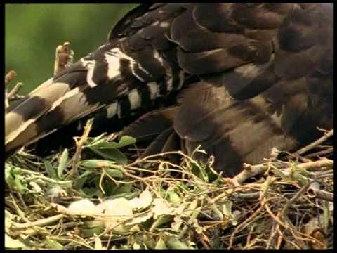 DocumentariDivX ITA  National Geographic   Artiglio storia di un'Aquila