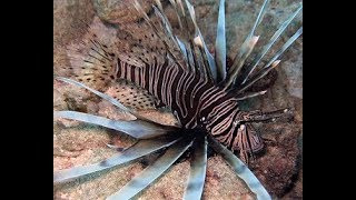 Lion Fish from White House Restaurant Beach in Grand Cayman