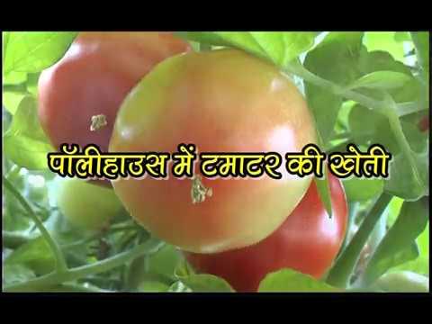 Tomato cultivation in the polyhouse पॉलीहॉउस में टमाटर की खेती  (टमाटर की संरक्षित खेती) Part-I