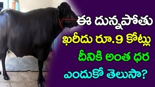 Male Buffalo Yuvaraj | 7 Crore Worth Murrah Buffalo | Yuvraj The Bull | Murrah Buffalo | Taja30