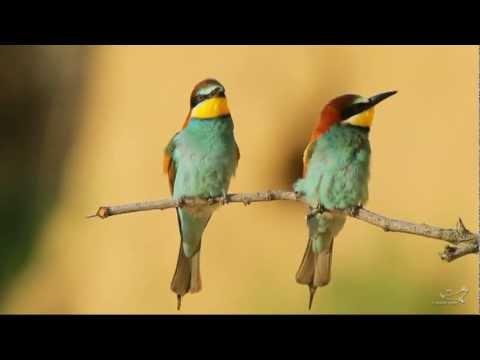 Bienenfresser - European Bee-eater - Merops apiaster