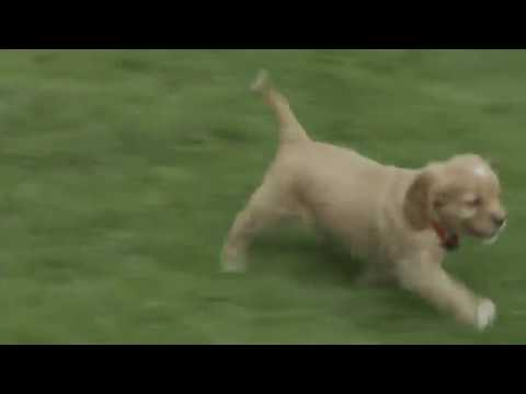 Andrew Hershberger's Golden Retriever/Cavalier Puppies