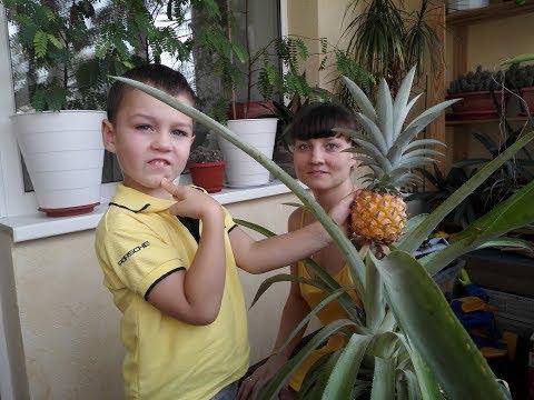 Вырастили Тайский ананас в обычной квартире