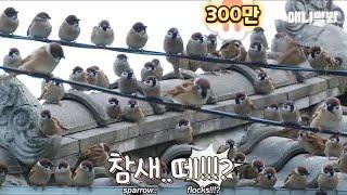 チュンチュン、おはよう!お腹空いたよ!すっかりお友だちになった韓国のおばあちゃんとスズメたち
