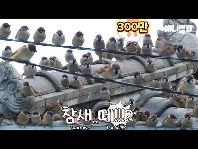 A hundredds sparrows visiting grandmather everyday (not CG)