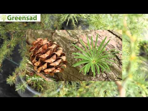Лиственница (растение) – полезные свойства и применение