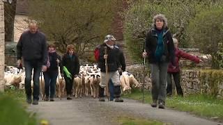 La transhumance Rocamadour-Luzech pour 700 moutons sur 68 km