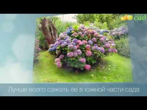 Посадка гортензии - как правильно посадить гортензию