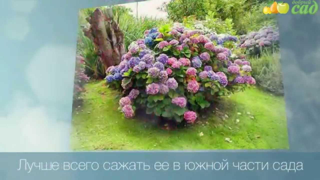 Садовые гортензии: как 29