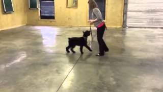 """Black Giant Schnauzer """"gidget"""" Obedience Trained Personal Protection Dog For Sale"""