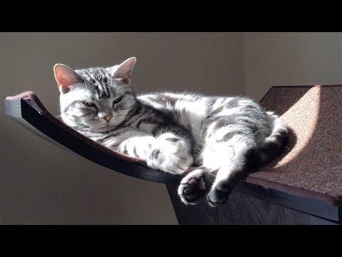 American Shorthair Cats - Daphne & Sophie