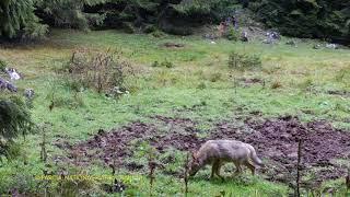 Lupi filmați în Parcul Național Piatra Craiului din cadrul Romsilva