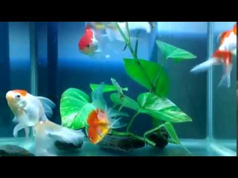 goldfish swimming in the tank youtube