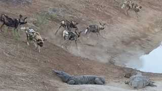 Wild dogs trying their luck on a croc