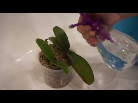 Обработка орхидеи фитовермом от вредителей после покупки