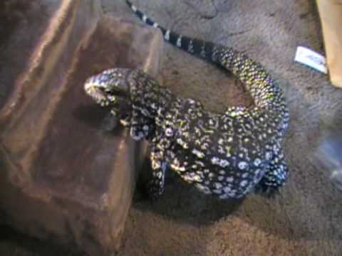 argentine tegu cage food lighting and daily routine youtube