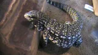 Argentine Tegu, cage, food, lighting, and daily routine.