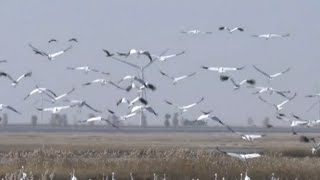White Cranes in NE China Begin Migration towards South
