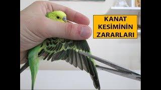 Kuşlarda Kanat Kesimi ve Zararları