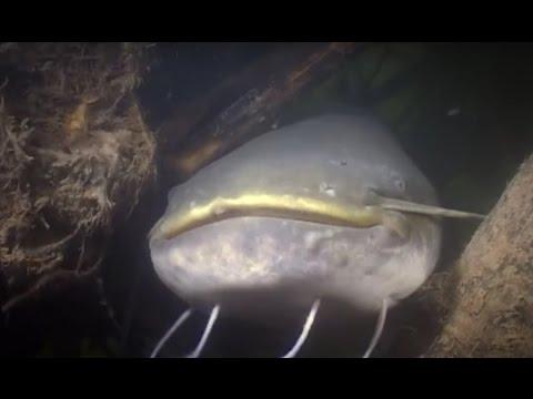 Под водой с Андреем Щукиным 510 Сом пресноводный гигант.