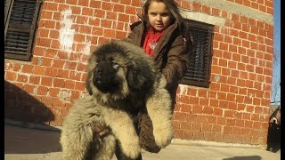 Repeat youtube video Jozo Dogs   Grizli 2 & Garov   2,5 months old