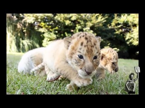 World's First White Ligers Born in South Carolina