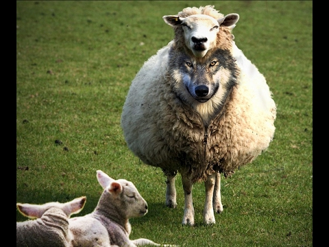 A Wolf In Sheep's Clothing From Boca Raton by Rabbi Mizrachi