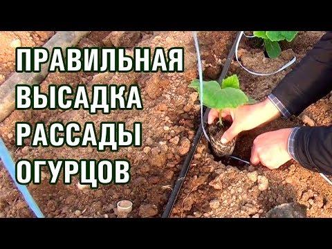ПРАВИЛЬНАЯ ПОСАДКА РАССАДЫ ОГУРЦОВ | выращивание | корневая | теплице | система | рассады | рассада | подвязы | огурцов | высадка | огурцы