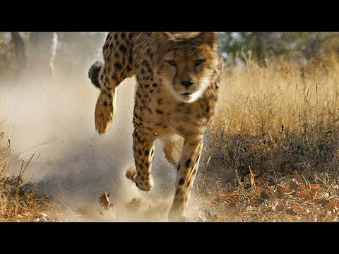 Cheetah practices Hunting for Upcoming Release into the Wild | BBC Earth