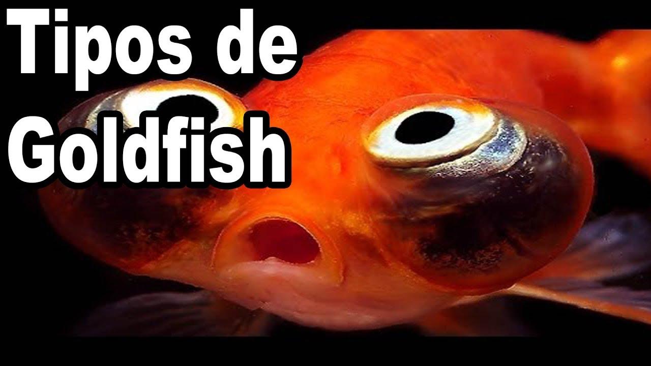 Variedades de goldfish peces de agua fr a youtube for Criaderos de peces de agua fria