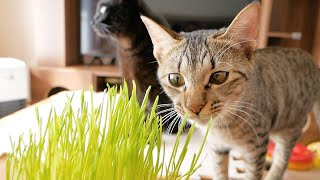 猫草を初めて見た猫の食べ方が独特すぎました...笑