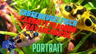 Wissenswertes über : Carinotetraodon travancoricus(Erbsenkugelfische /TAX