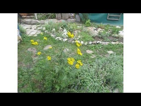 пижма от вредителей сада и огорода
