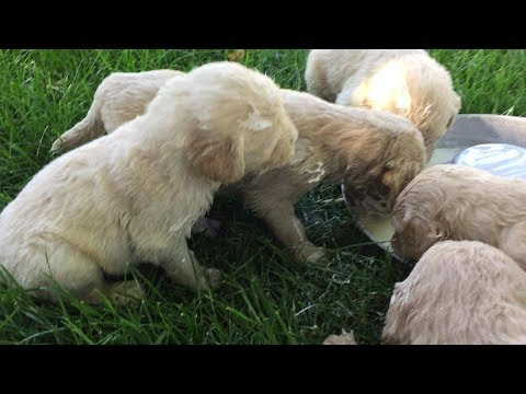 Goldendoodle Puppies Learning To Eat
