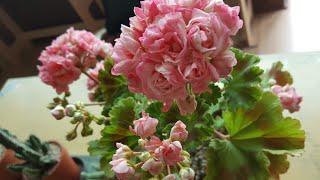 블루네 베란다에 제랴늄 꽃들이 활짝~~