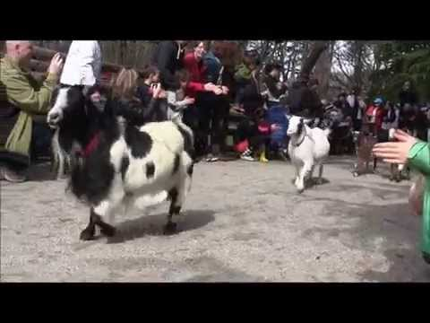 Running of the Goats: Beacon Hill Park Victoria BC