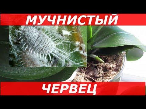 МУЧНИСТЫЙ ЧЕРВЕЦ На Орхидеях и КАК С Ним БОРОТЬСЯ / Мой Опыт